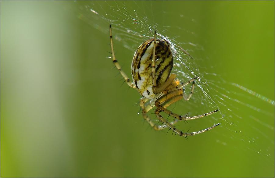 0 8 15 Standard-Wiesen-Spinne...