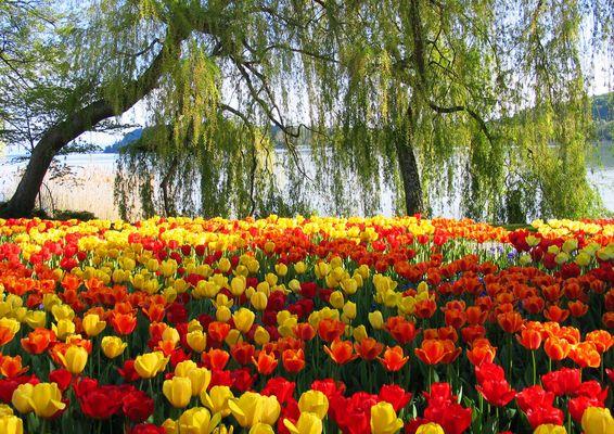 00221 Tulpenblüte auf der Insel Mainau