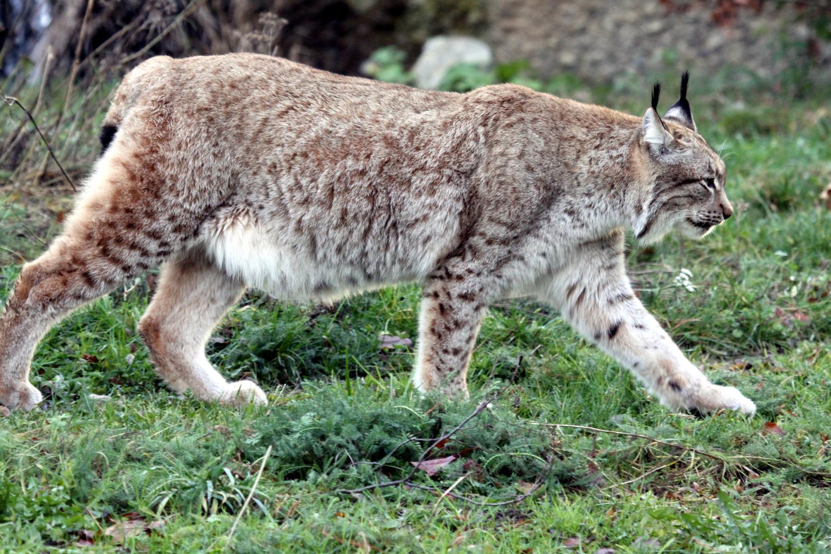004 Nordluchs (Eurasischer Luchs), Lynx lynx