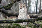 007 Eurasischer Luchs oder Nordluchs (Lynx lynx)