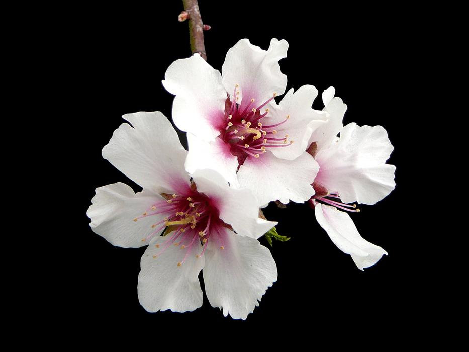 012 Fiore di mandorlo