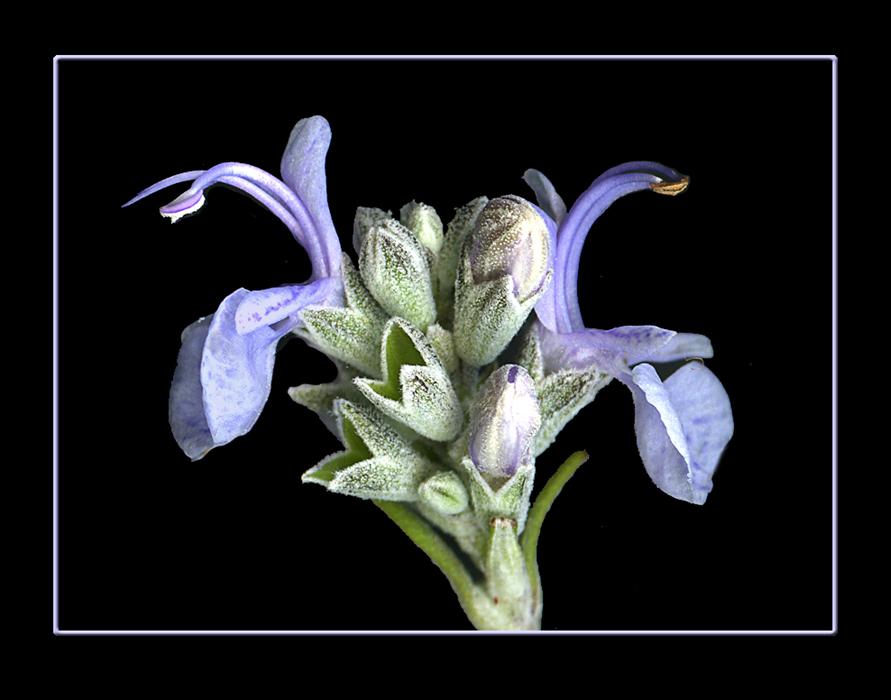 028 Fiore di ramerino