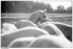 #034 - Schweinkram