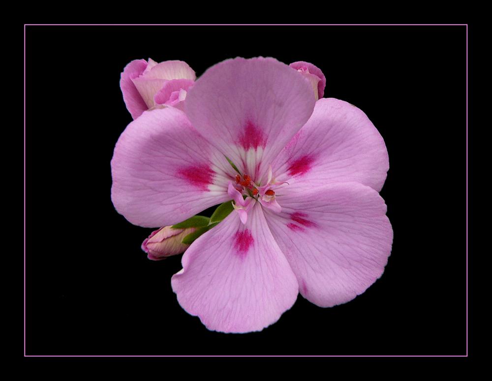 038 Fiore di Geranio 01