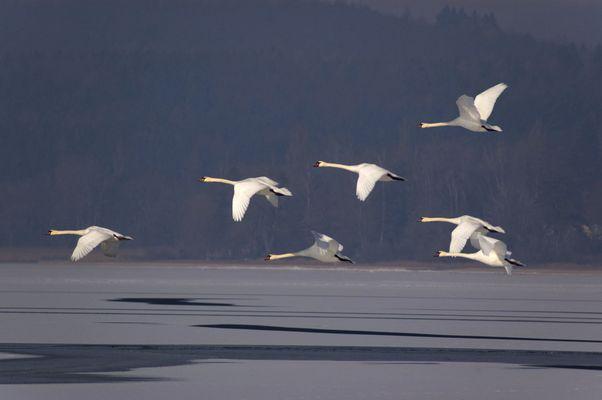 04207 Schwäne im Flug, Bodensee