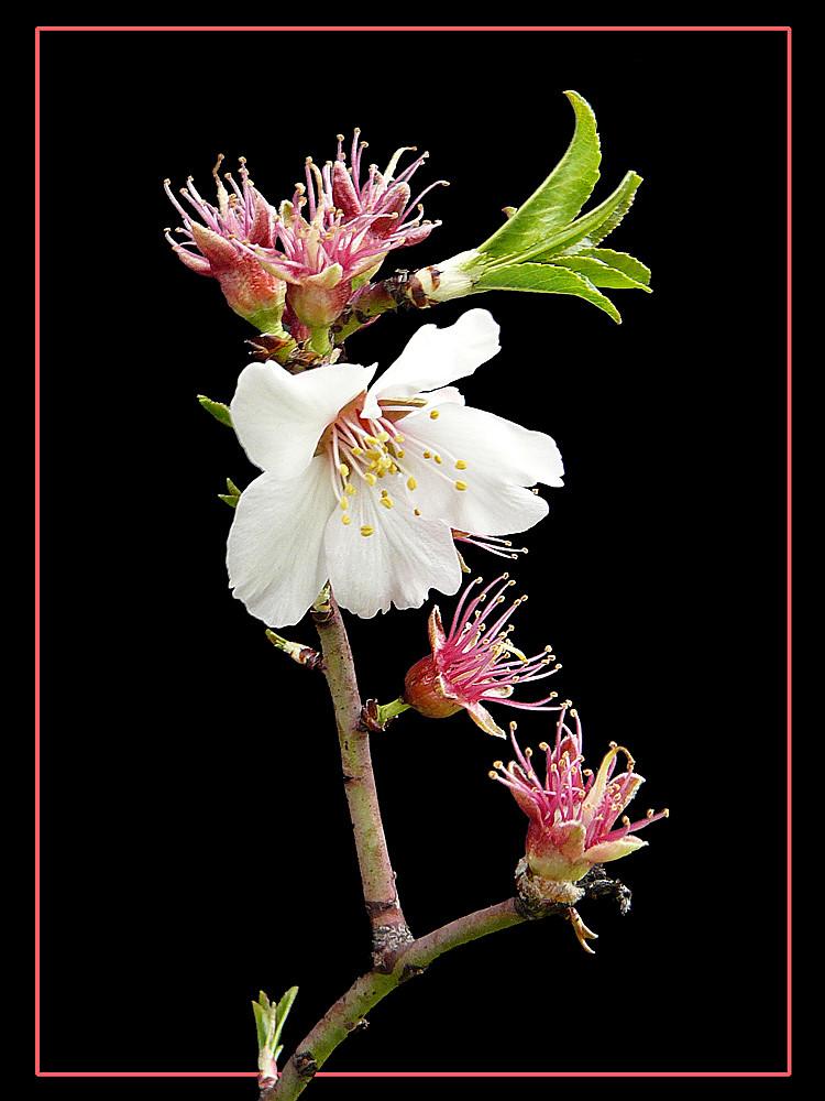 047 MANDORLO l'ultimo fiore