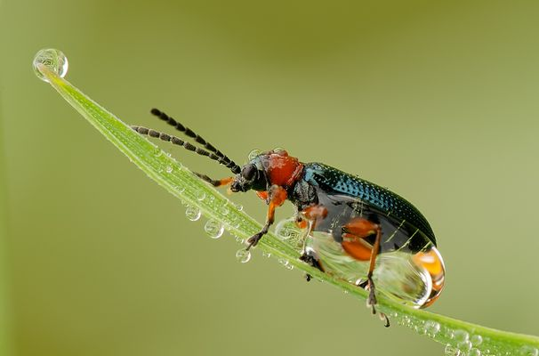 0,5 cm kleiner Käfer im Tau