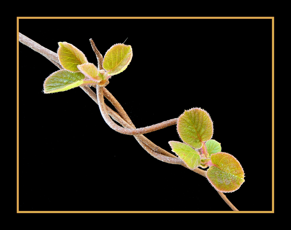 054 KIWI le prime foglie