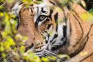The Eye of the Tiger von lizzydoc