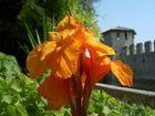 060901 Blüte vor der Burgmauer von Sirmione