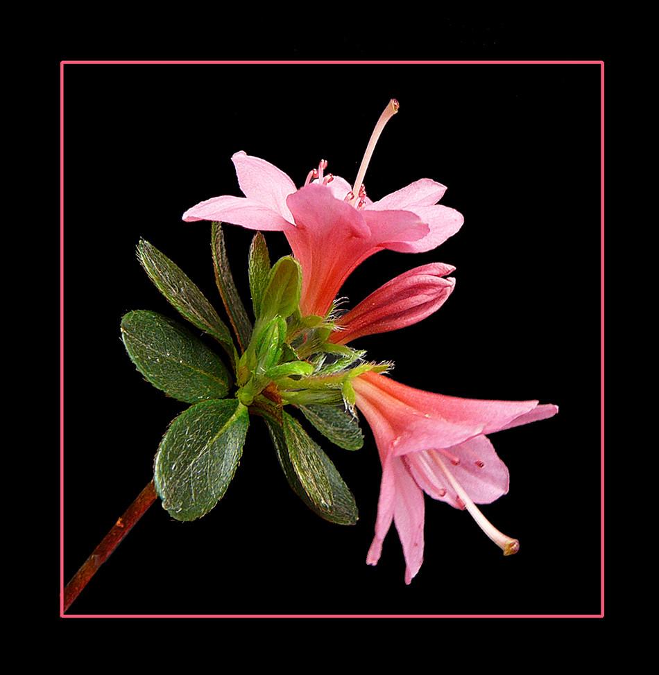 061 AZALEA fiori piccoli