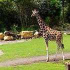 0776 - Giraffe im Zoo Leipzig - August 2013