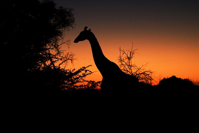 07MV_9380_Giraffe