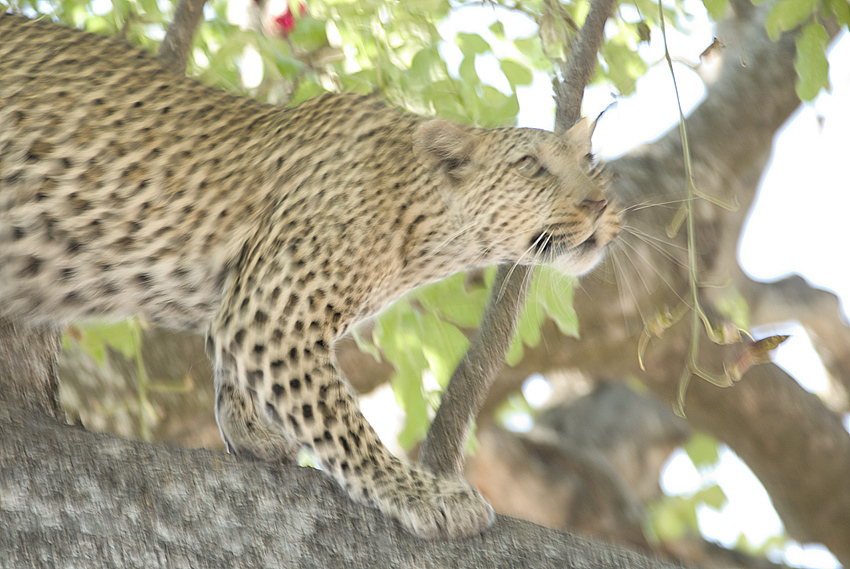 07MV_9546_Leopard