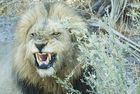 07MV_9735_Lion
