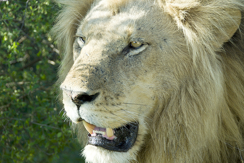 07MV_9950_Lion