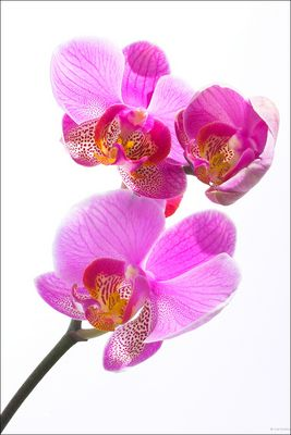 0902 - Orchidee