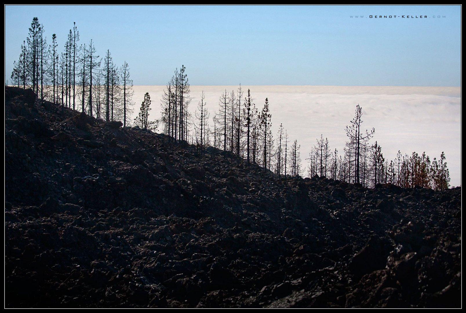 09545 - Teneriffa - Verbrannte Baeume auf dem Weg zum El Teide