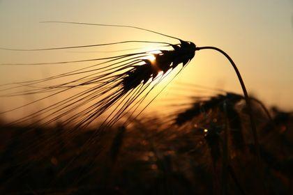 Getreide  und Feldfrüchte