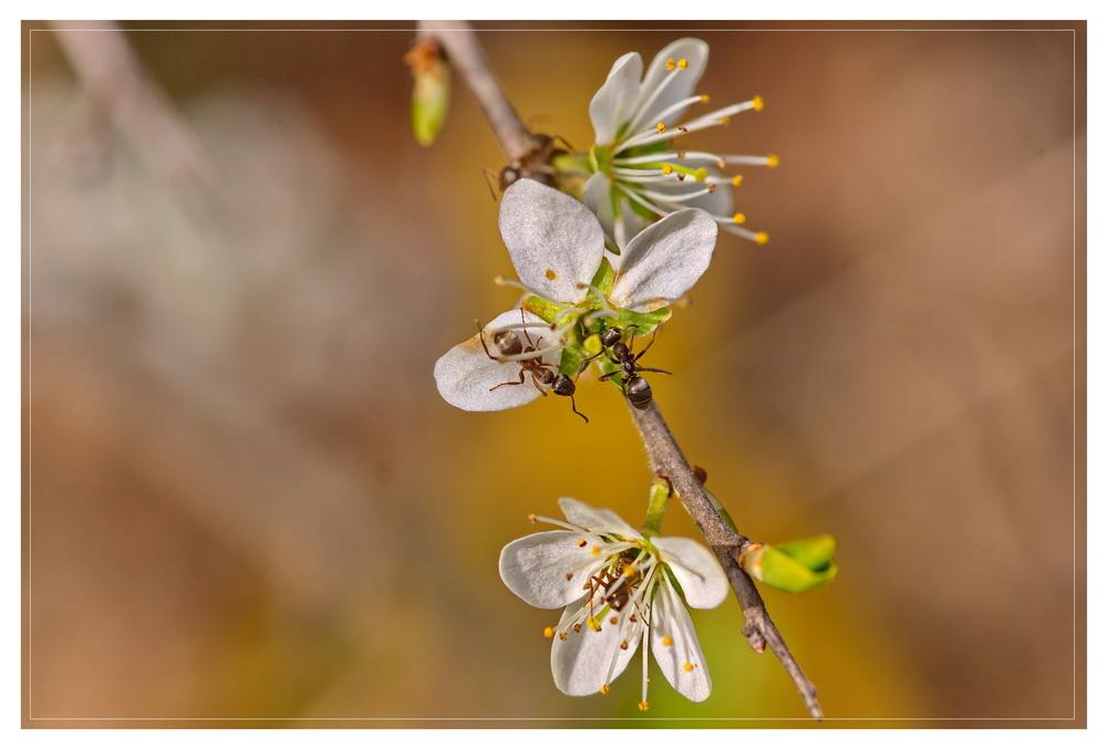 (1) Ameisen Auf Futtersuche in Baumblüten