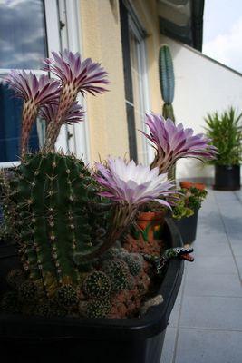 1. Bild... die kaktusblüte...