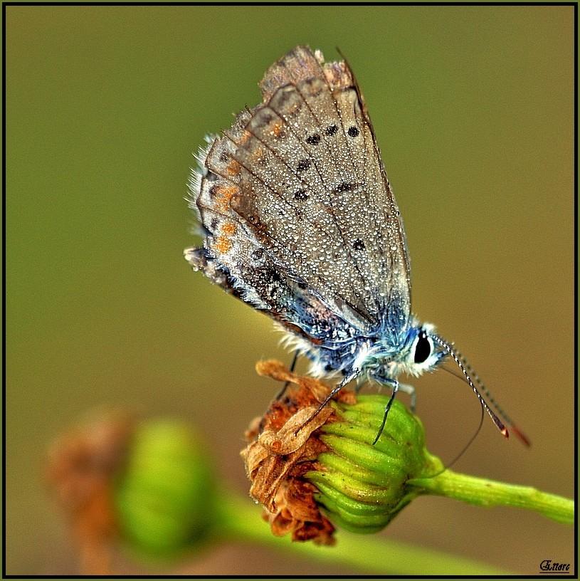 1 cm di farfalla