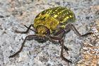 (1) Der einige Zentimeter große Prachtkäfer (Buprestide) aus der Türkei . . .