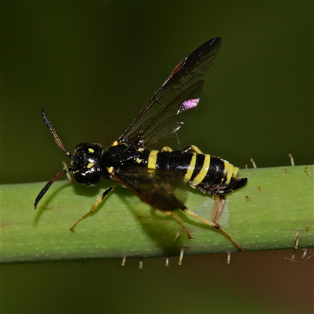 (1) Eine kleine Sensation: Die Eiablage einer Blattwespe (Allantus viennensis)