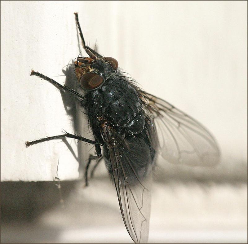 1. Fliege - an der Mauer - Makro - Versuch