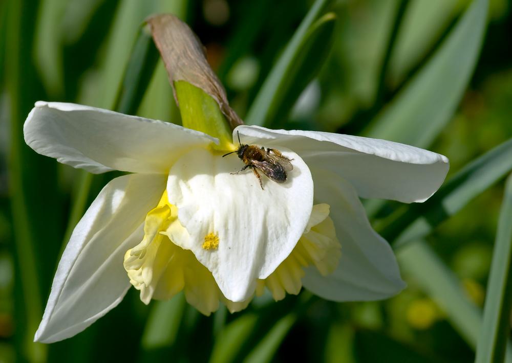 1._ Gehörntes Mauerbienen Weibchen _ Osmia cornuta _