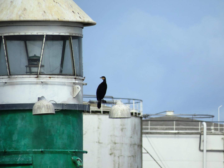 1 Komoran im Hafen von Aarhus