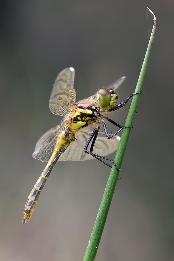 1. Libellenschlupf 2011 ! ....ein Aprilscherz !