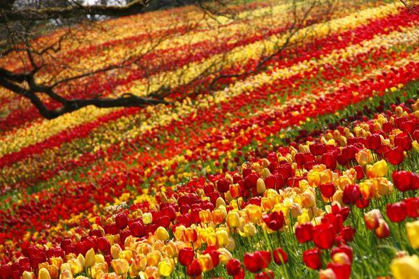 1 Million Tulpen