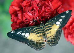 1. Schmetterling