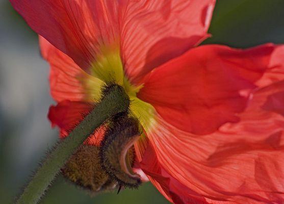 1. Tag einer Mohnblüte im Tageslicht