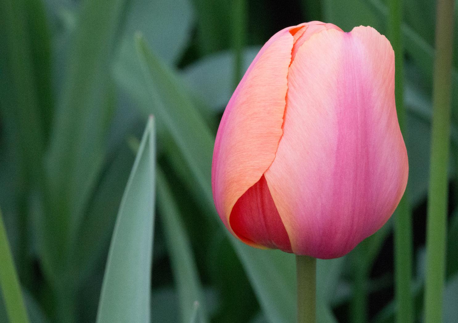 - 1 Tulpe -