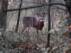 10 Point Whitetail Buck