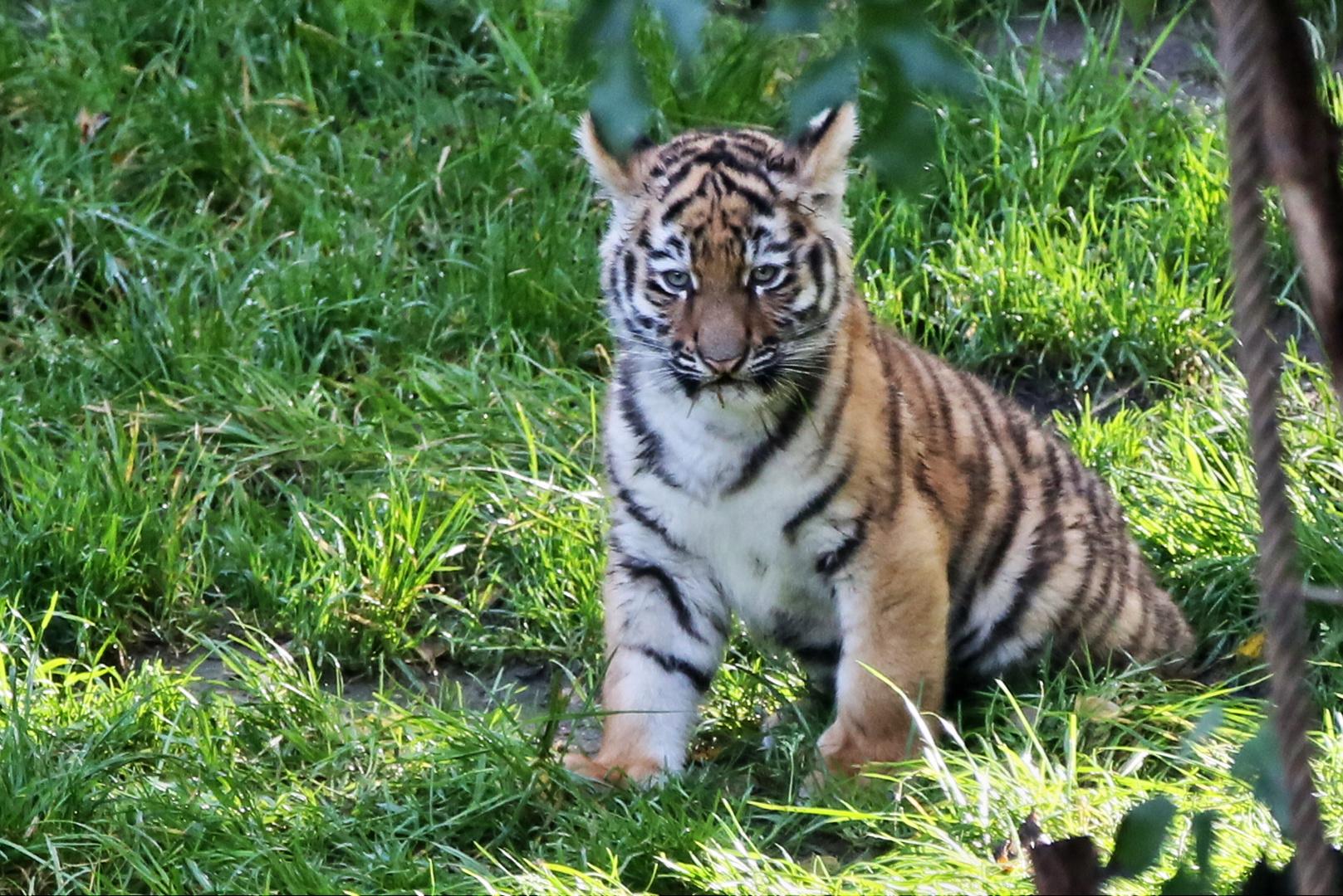 10 Wochen alter Mini-Tiger