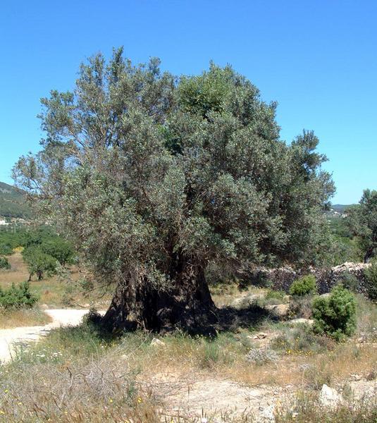 1000-jährige Olive