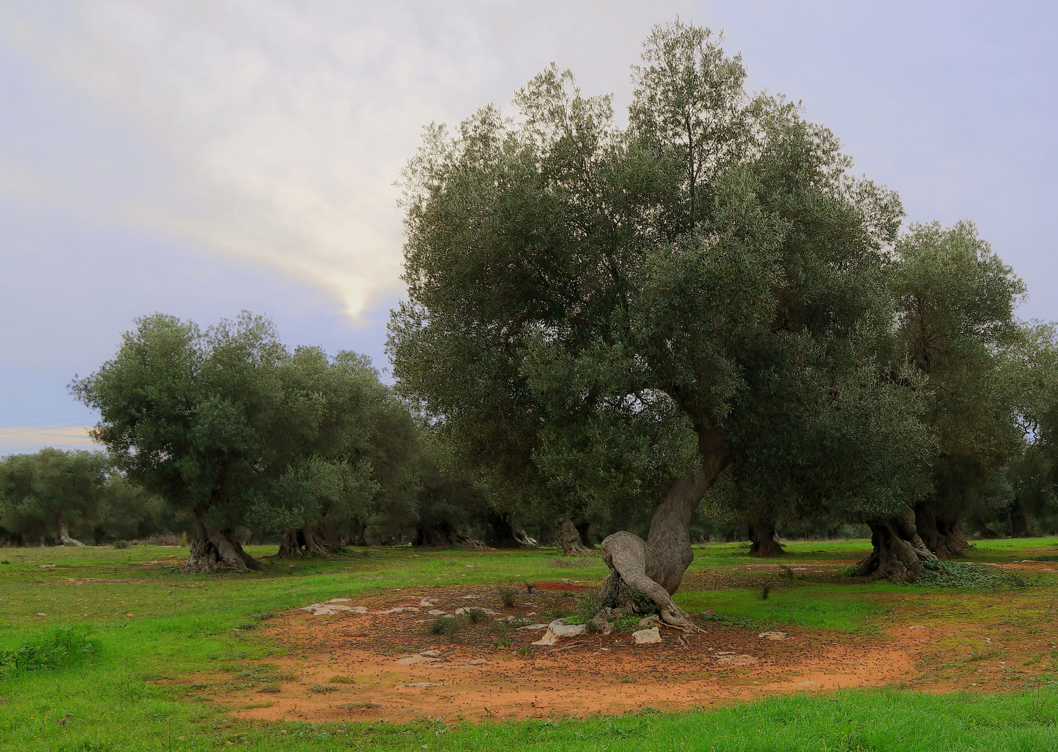 1000-jährige Olivenbäume in Apulien bei Nardò