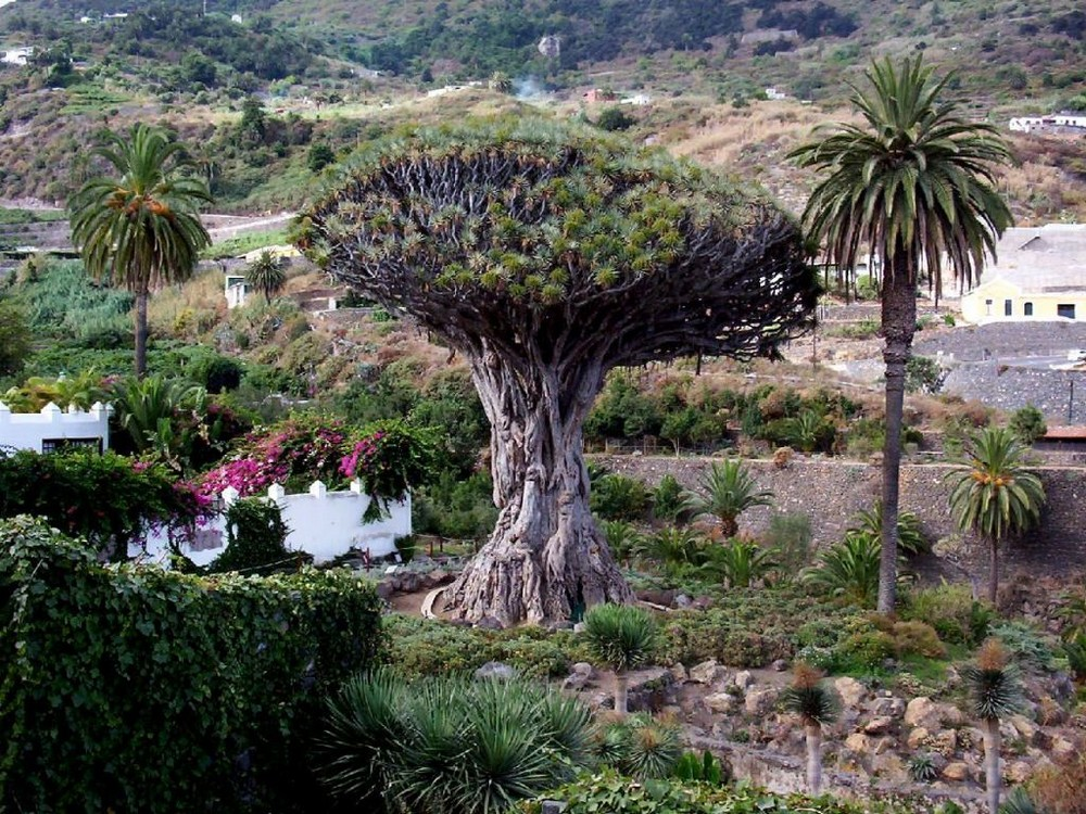 1000 Jähriger Baum