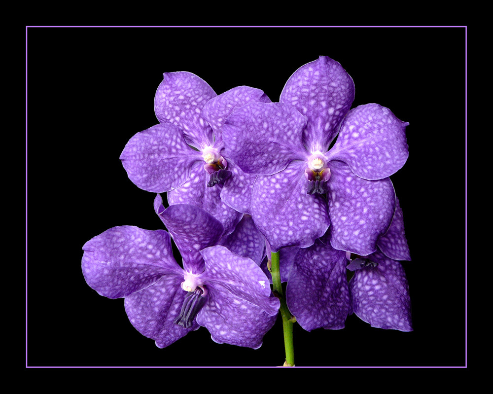 108 VANDA BLUE MAGIC
