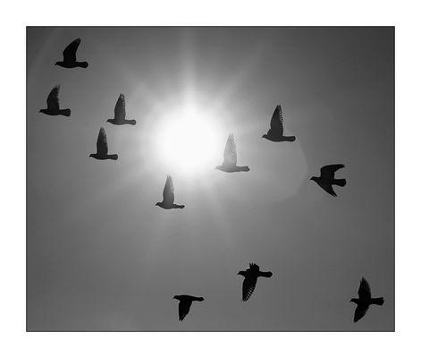 11 Tauben