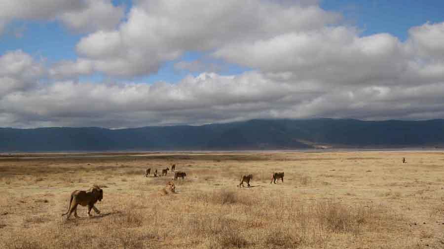 12 leoni a ngorongoro (tanzania)