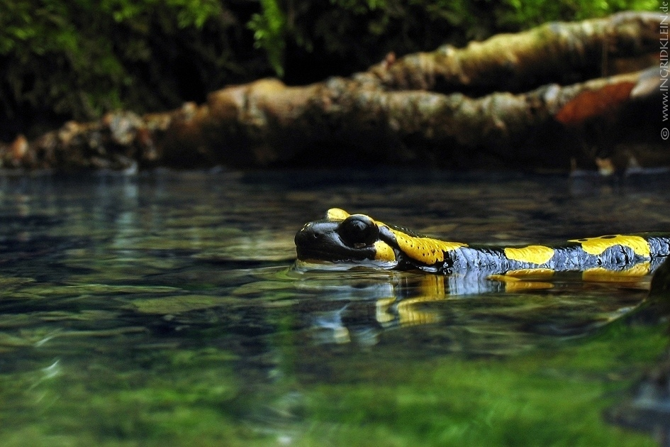 12 Salamander / 10