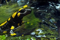 12 Salamander / 11