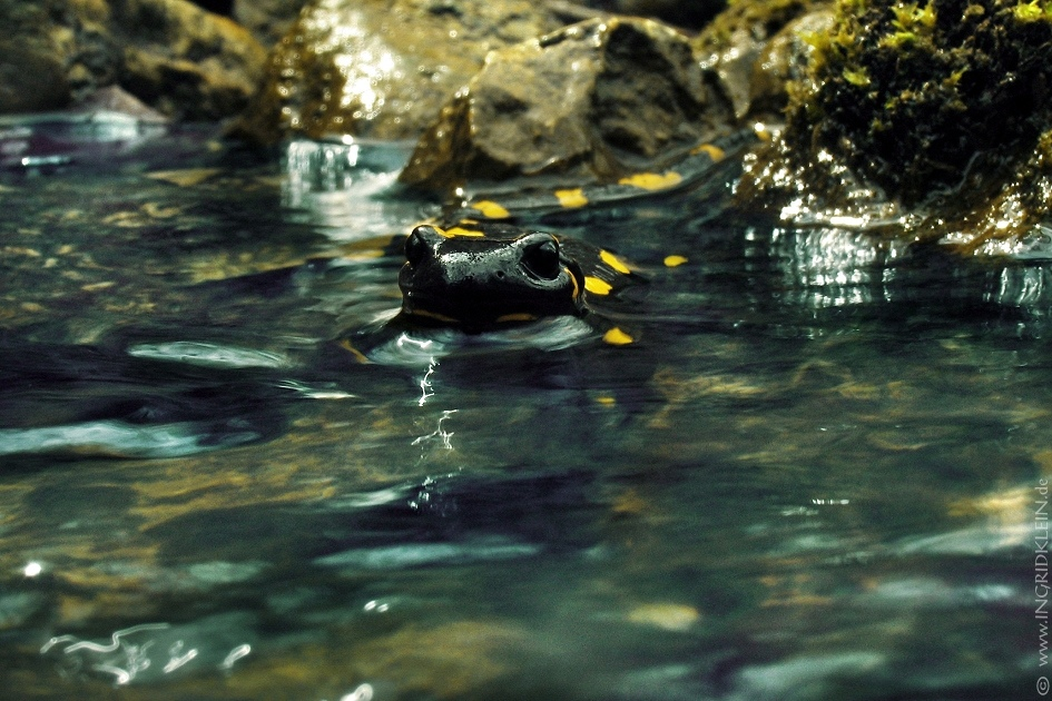 12 Salamander / 4