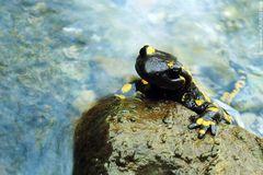 12 Salamander / 5