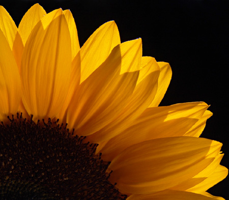 1/4 Sonnenblume