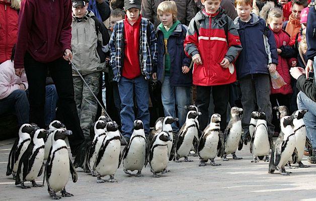 14 Uhr Marsch der Pinguine im Zoo Münster.